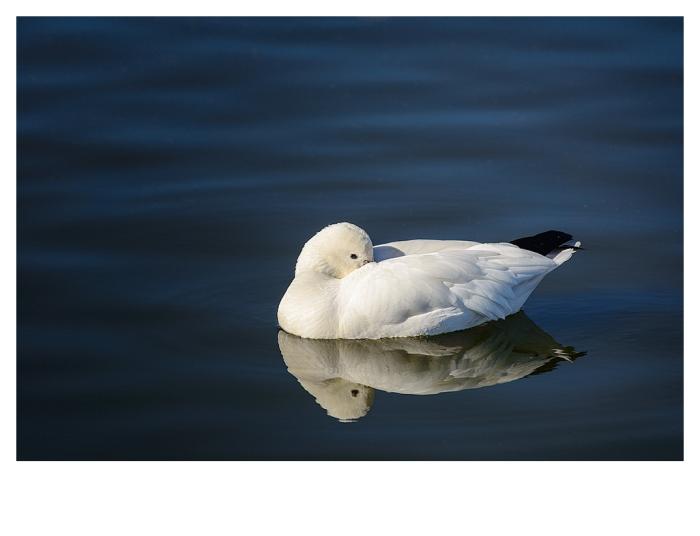 Snow Goose, Bosque del Apache, New Mexico