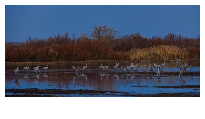 Sunset Cranes and snow geese, Bosque del Apache