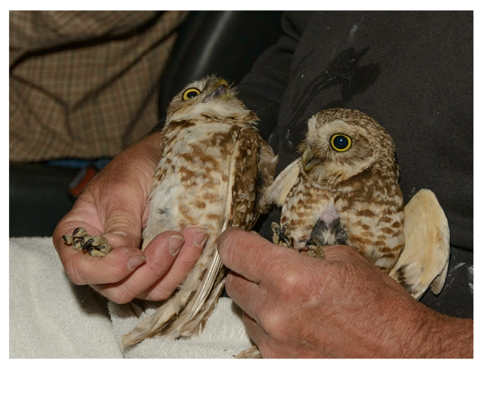 Dr. David Johnson holds adult male and female burrowing owls