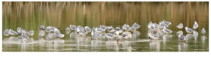 Franklin gulls