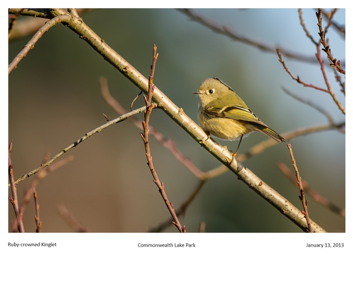 5239_rubycrown_kinglet